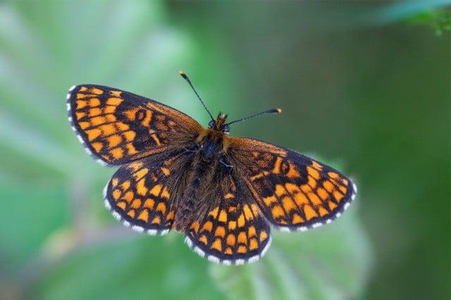 Cornish butterflies
