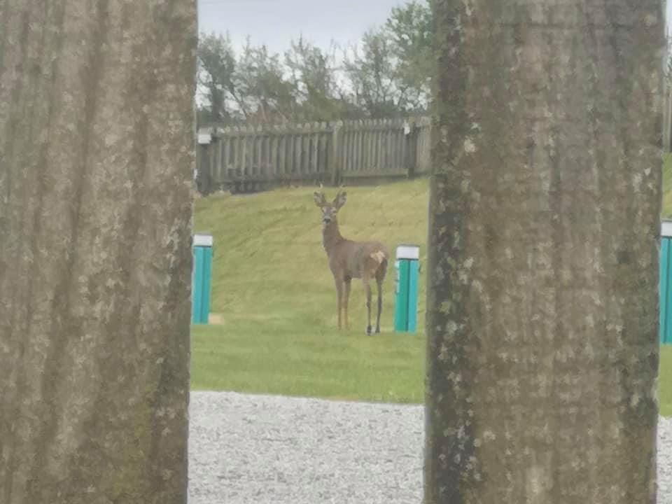 Deer walking through the campsite