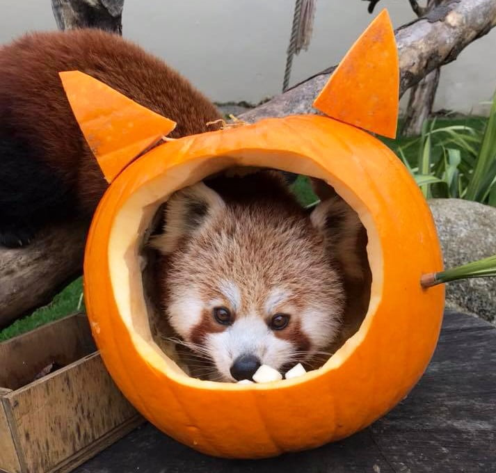 Animals head in pumpkin at Paradise Park during October half term